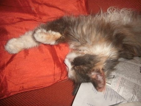 Boudica, falling asleep on Bibliophile cat a logue. Thanks to customer Annette White for sending this photo in.\\n\\n10/10/2019 10:17