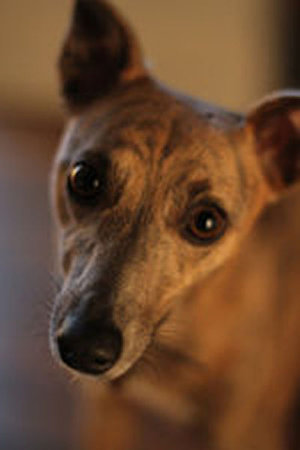 Lucky Lottie, our editor Annie's brindle Whippet.\\n\\n10/07/2014 11:44