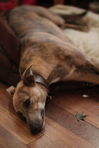Slumbering at Terry's 2014. Lucky Lottie, our editor Annie's brindle Whippet.\\n\\n10/07/2014 11:29