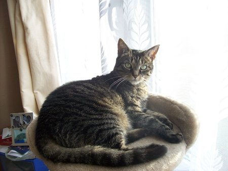Pebbles Turner is a Silver Tabby and is coming up to 12 years old on the 25th July. Pebbles is an indoor cat now due to her medical condition. She gets under our bed covers if wants cuddles. Chrissie\\n\\n27/08/2019 10:49