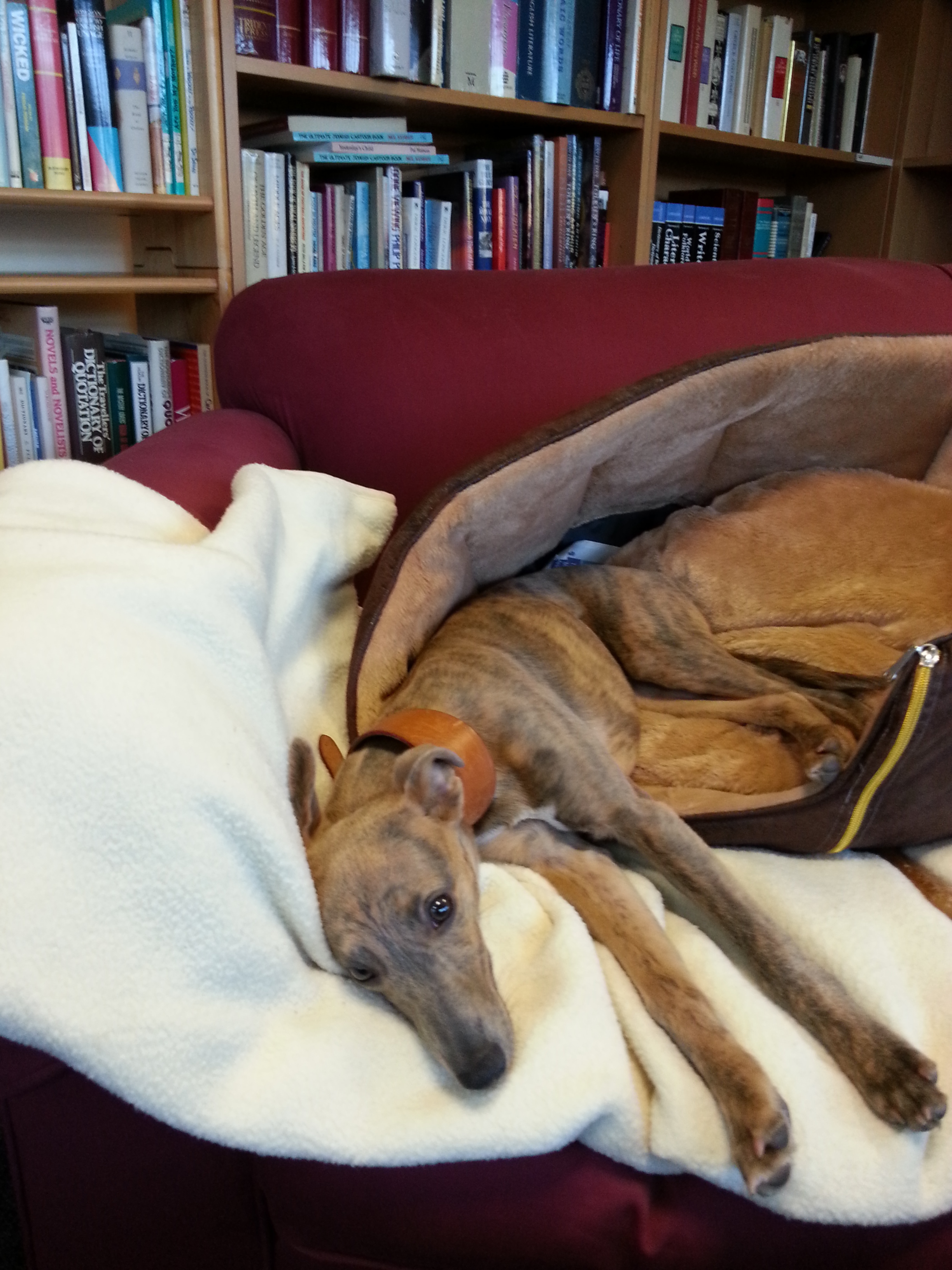 "Eagle-eyed readers have spotted that we added ""Plus Puppy"" to our Introduction to catalogue 308. The new addition to the family is Lucky Lottie, our editor Annie and her husband\'s new brindle Whippet, pictured here hard ""at work""!\\n\\n07/02/2013 09:53"